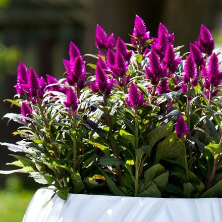 Celosia Deep Purple