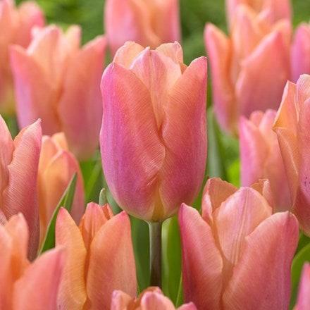 Tulipa Salmon Prince