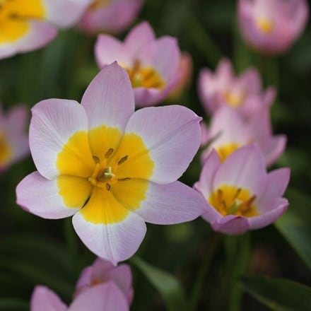 Tulipa saxatilis (Bakeri Group) Lilac Wonder - Organic bulbs