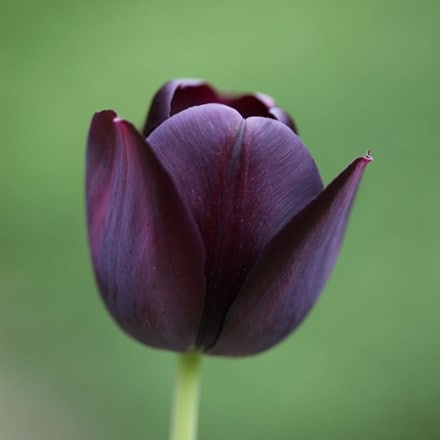 Tulipa Queen of Night - Organic bulbs