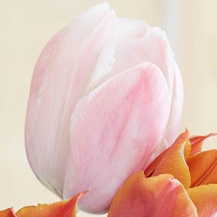 Tulipa Salmon Van Eijk (PBR) - Organic bulbs
