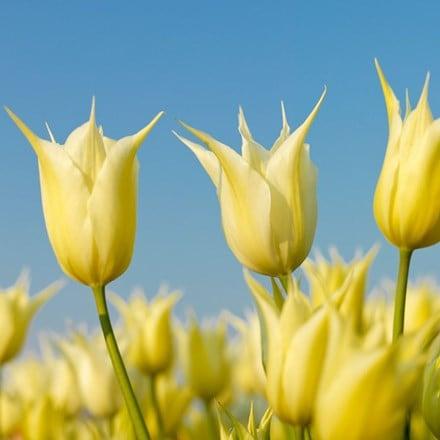 Tulipa Sapporo - Organic bulbs