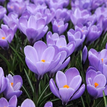 Crocus Grand Maitre -Organic bulbs