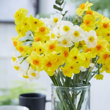 Multiflowered daffodil collection