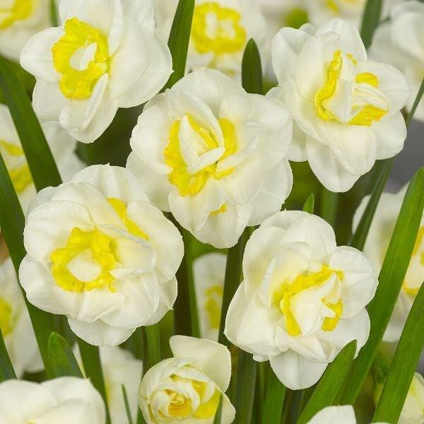 Narcissus Salou
