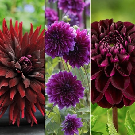 Bruised dahlia collection