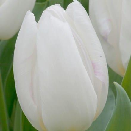 Tulipa White Prince