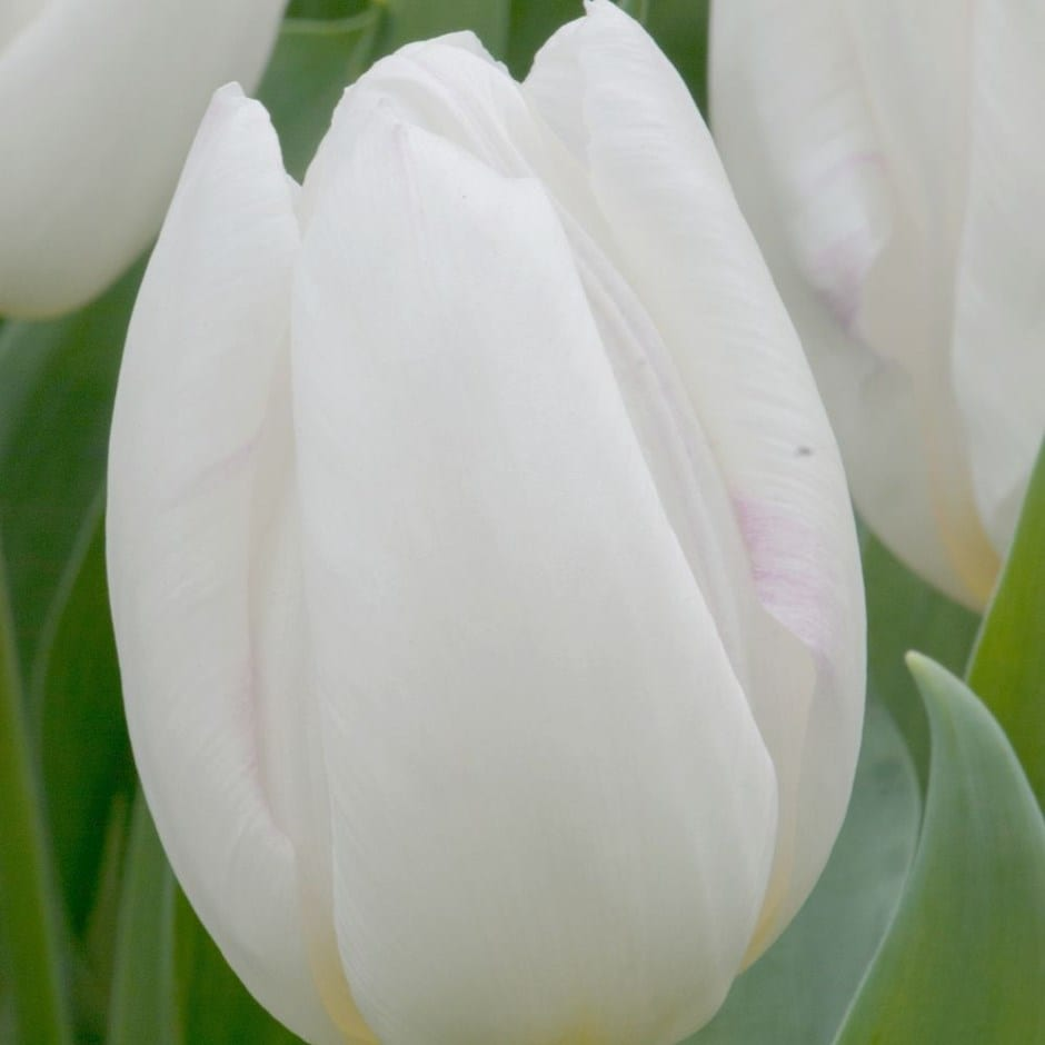 Buy single early tulip bulbs tulipa white prince 499 delivery by tulipa white prince izmirmasajfo