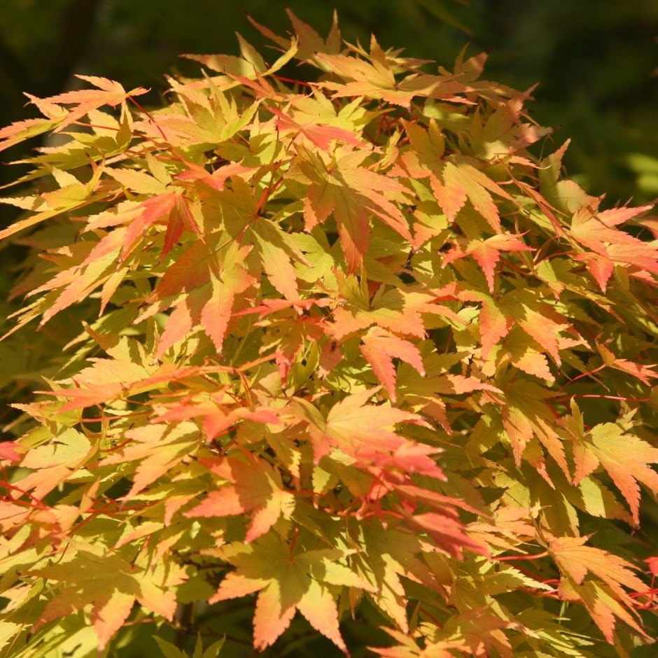 coral-bark maple ( syn Acer senkaki )