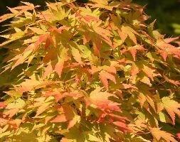coral-bark maple ( syn Acer senkaki )