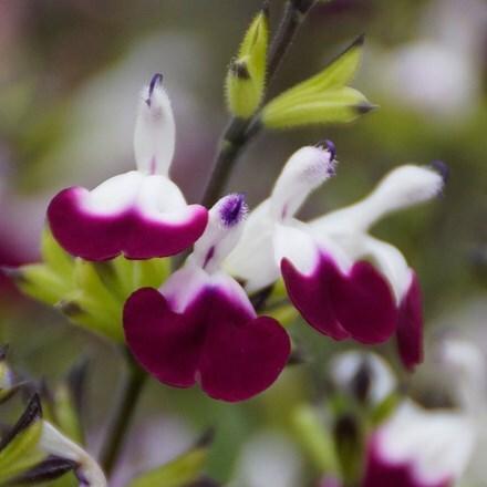 Salvia Amethyst Lips (PBR)