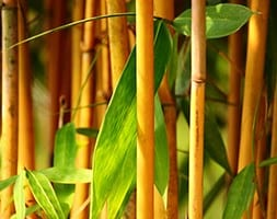 yellow-groove bamboo
