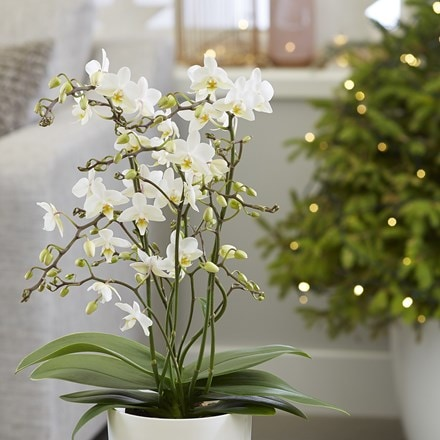 Phalaenopsis White Willd Orchid