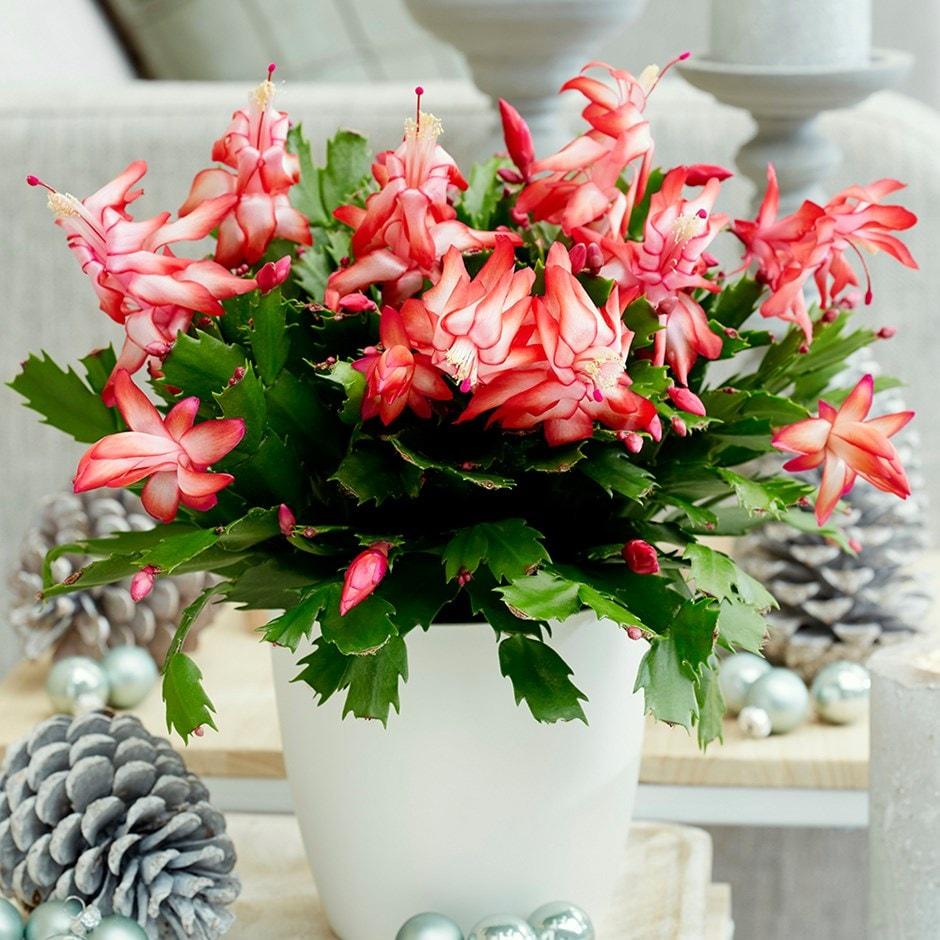 Christmas Cactus.Schlumbergera Red