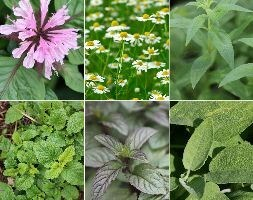 Herbs for teas collection