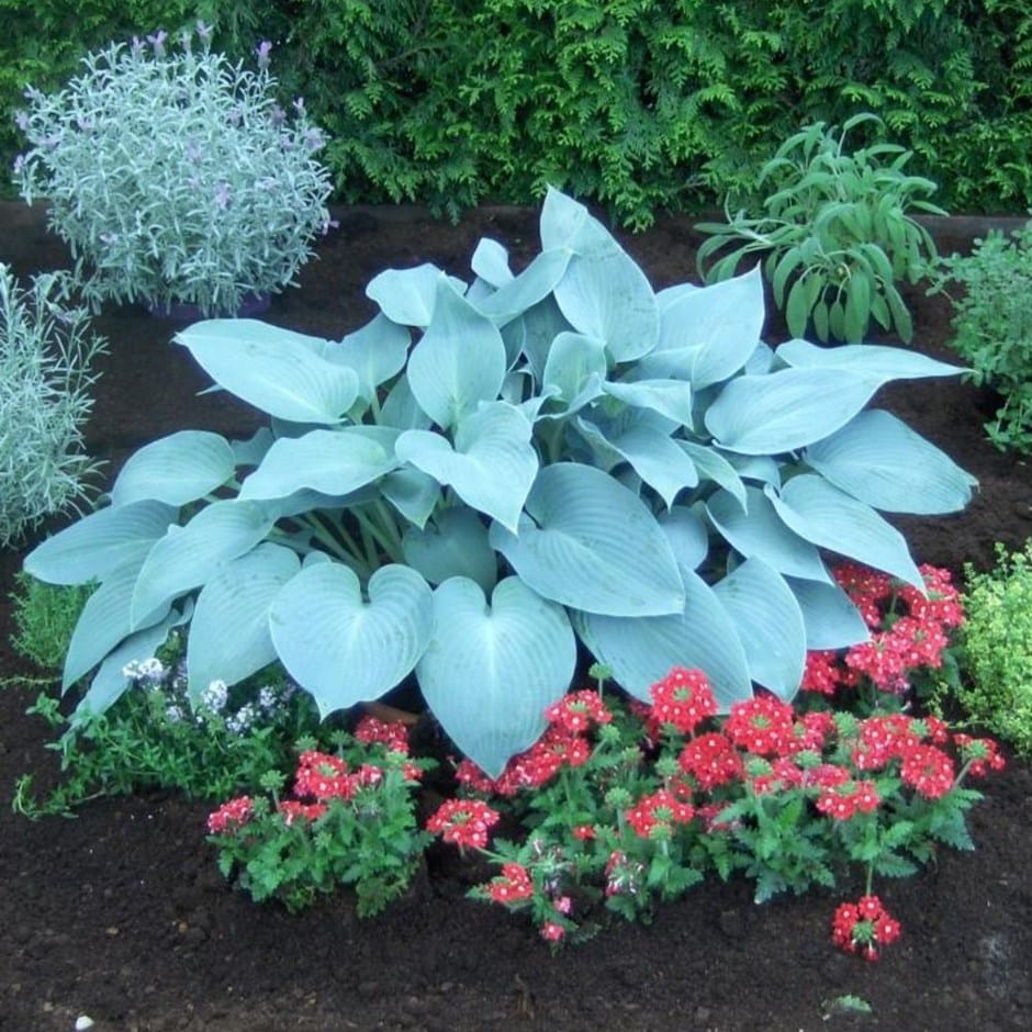 Buy Plantain Lily Hosta Canadian Blue
