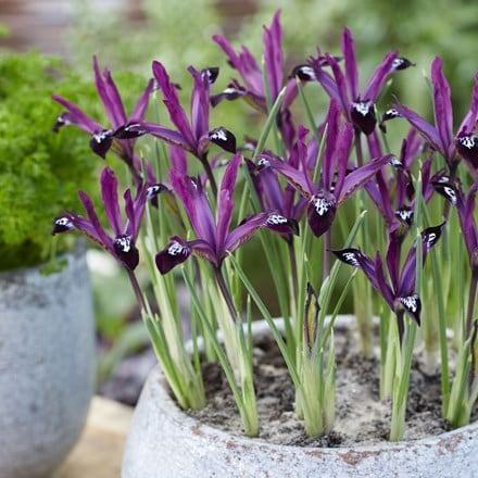 Iris Pauline (Reticulata) - potted bulbs