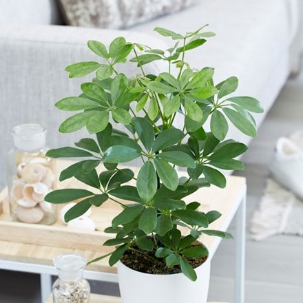 umbrella tree 'Nora'