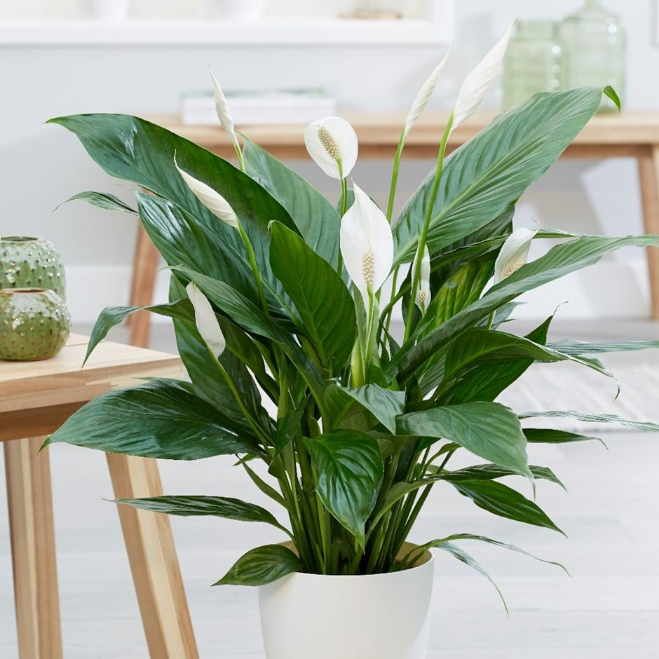 Buy peace lily Spathiphyllum Bingo Cupido: £24.99 Delivery by Crocus