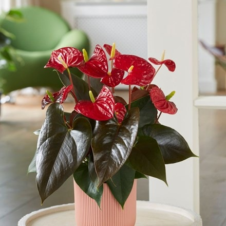Anthurium Coral Champion ('Anthdotfan') (PBR)