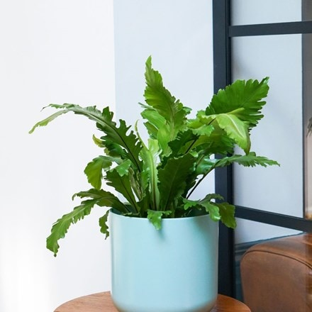 champion's bird's nest fern 'Campio'