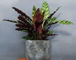 rattlesnake plant  (syn calathea)