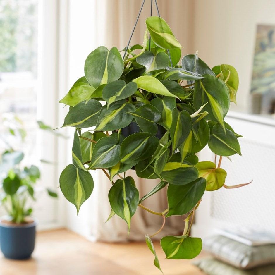 Buy Heart Leaf Philodendron Scandens Brasil 163 24 99