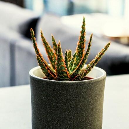 Aloe Danyz