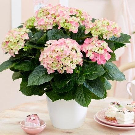 Hydrangea macrophylla Early Rosa