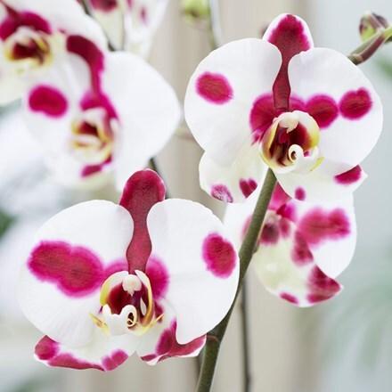 Phalaenopsis Polka Dots