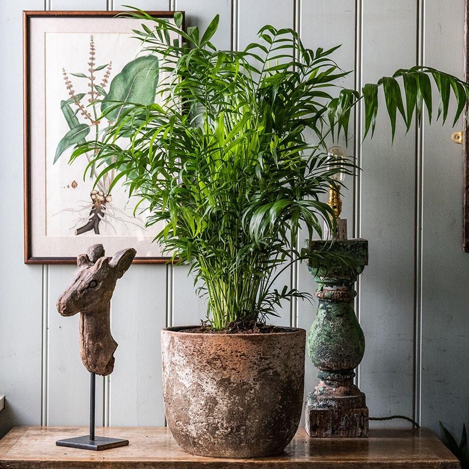 Buy Parlour Palm Dwarf Mountain Palm Chamaedorea Elegans 163 149 99 Delivery By Crocus