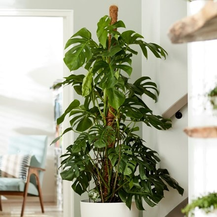 XXL 1.7m - swiss cheese plant ( syn. Monstera pertusum )