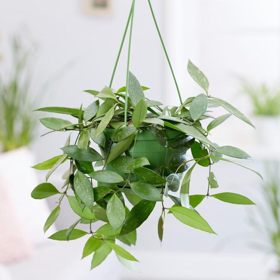 waxplant / waxflower