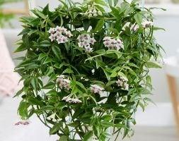 wax plant / waxflower