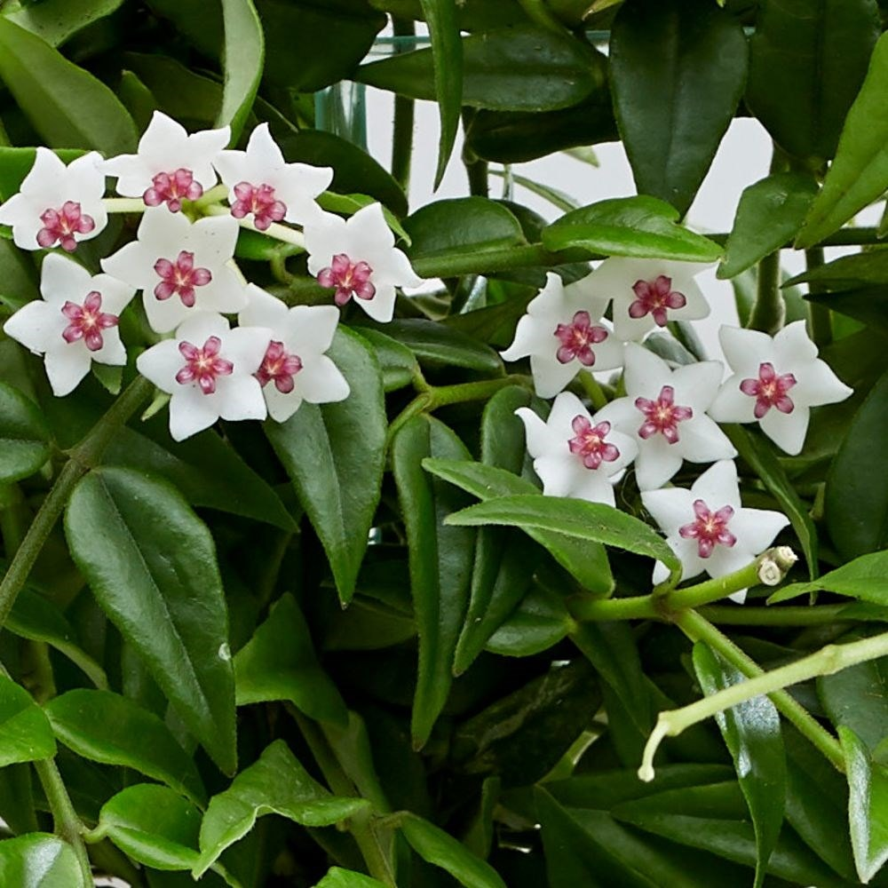 Buy Wax Plant Waxflower Hoya Lanceolata Subsp Bella Delivery By