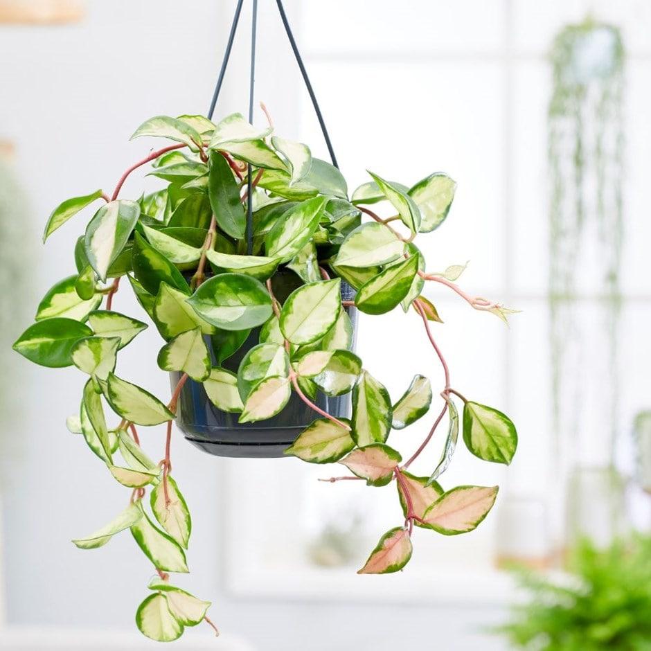 Buy Waxplant Waxflower Hoya Carnosa Tricolor