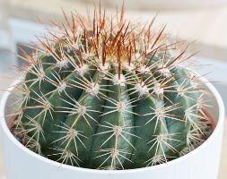 pope's head cactus