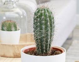 Mexican giant cardon cactus