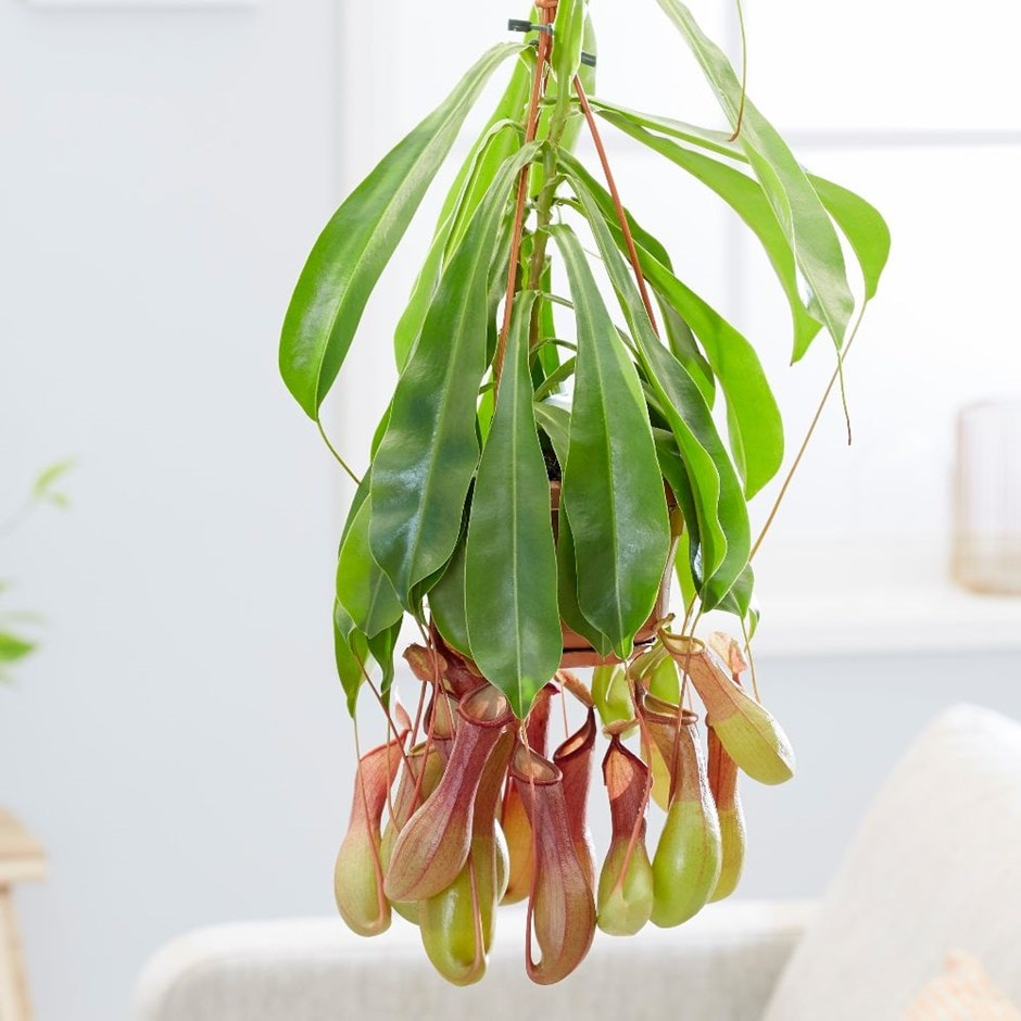 pitcher plant / monkey cups