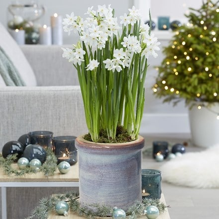 Paperwhites and ceramic pot