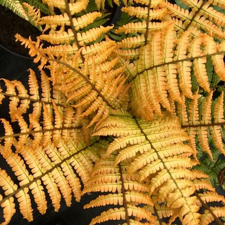 Dryopteris wallichiana Jurassic Gold ('Hollasic') (PBR)