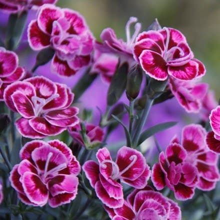 Dianthus Purple Wedding