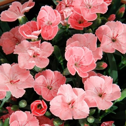 Dianthus Peach Party ('Kledg18305')