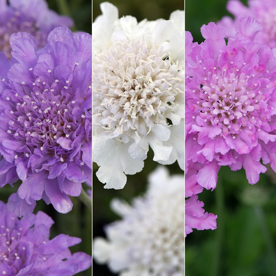 pincushion flower collection