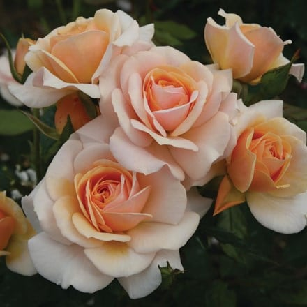 Rosa Sweet Honey ('Kormecaso') (PBR)