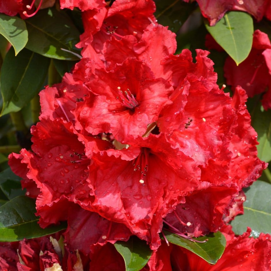 <i>Rhododendron</i> 'Red Jack'