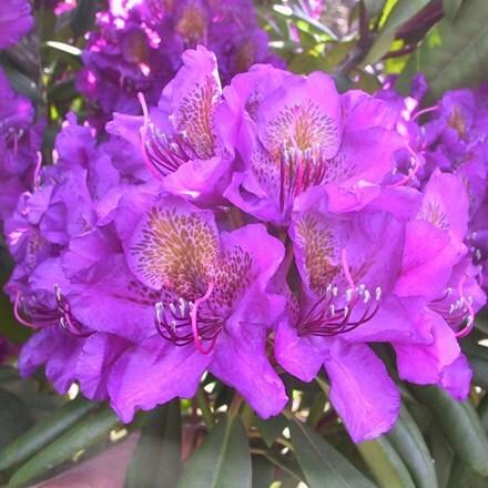 Rhododendron Monsieur Marcel Menard