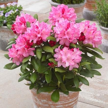 Rhododendron Polaris
