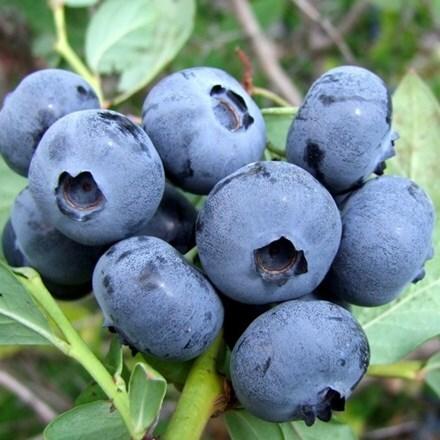 blueberry Sierra