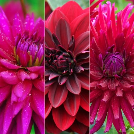 Dazzling dahlia collection